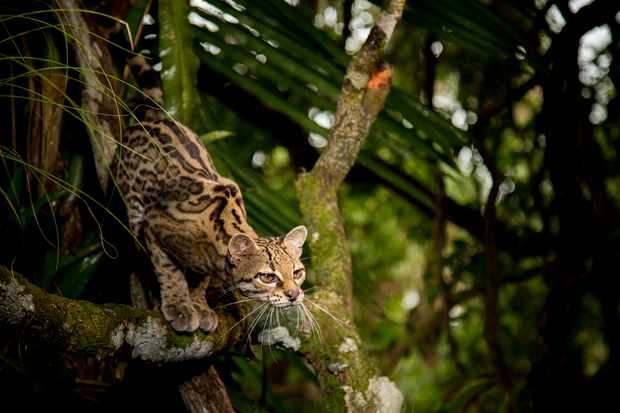 Margay's climb high in the tree tops of central America where they are known as the monkey cat.
