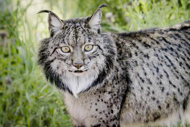 Iberian lynx once thrived all across the Iberian peninsula but mass extermination of their primary prey - the european rabbit, by mixamatosis, had a devastating effect on this enigmatic cat. © BBC