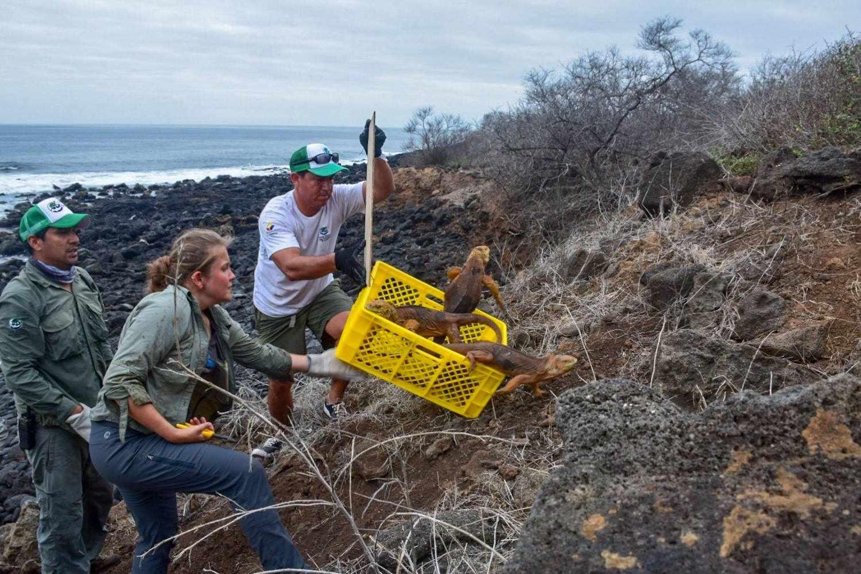 Land iguanas being released onto Santiago Island. © Island Conservation
