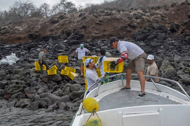Land iguanas being transported by DPNG and Island Conservation staff. © Island Conservation