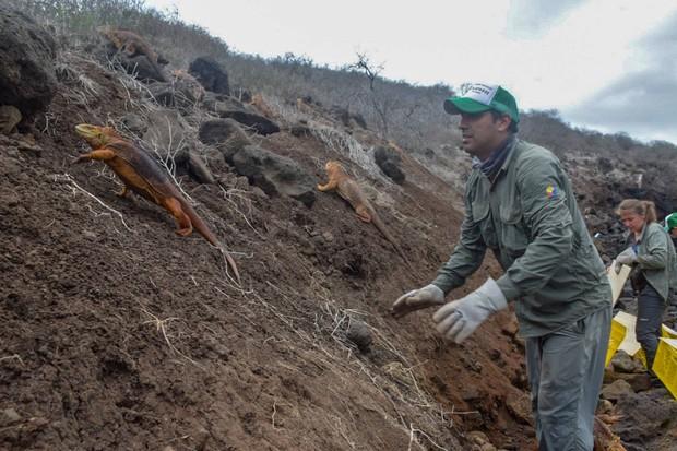 1,436 land iguanas were released onto Santiago Island. © Island Conservation