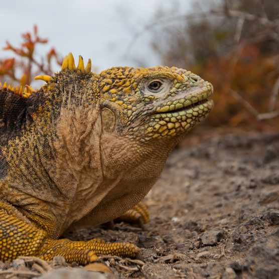 Land iguanas are an endemic species to the Galápagos Islands. © Island Conservation
