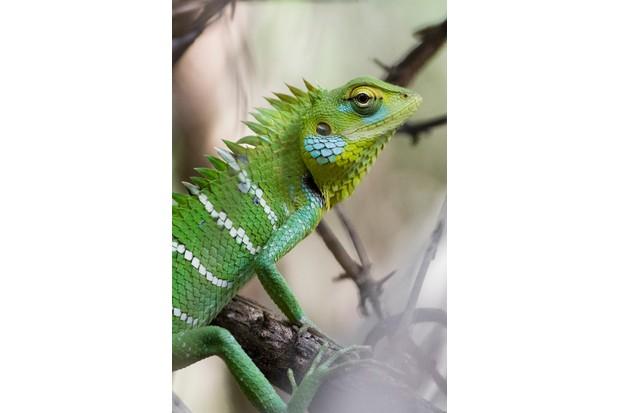 Oriental garden lizard © Lizzie Nicolson Lai