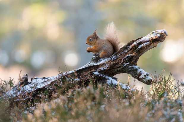 Red squirrel photographed on the Rothiemurchas Estate. © Karen Miller Photography