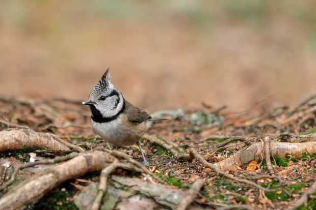 Crested tit in the Cairngorms National Park. © Alex Elliott