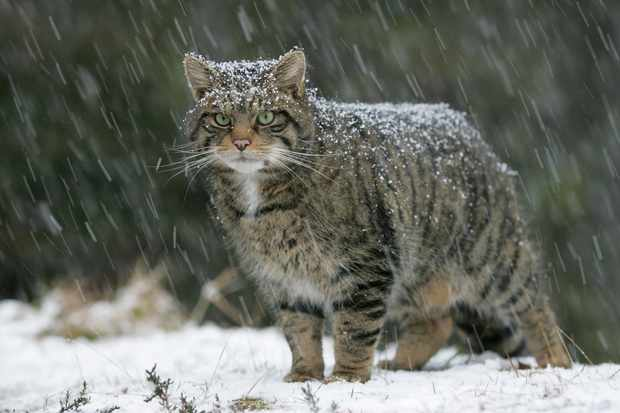 Scottish wildcat in heavy snowfall in the Cairngorms National Park, Scotland. © Pete Cairns/NorthShots/Scotland: The Big Picture
