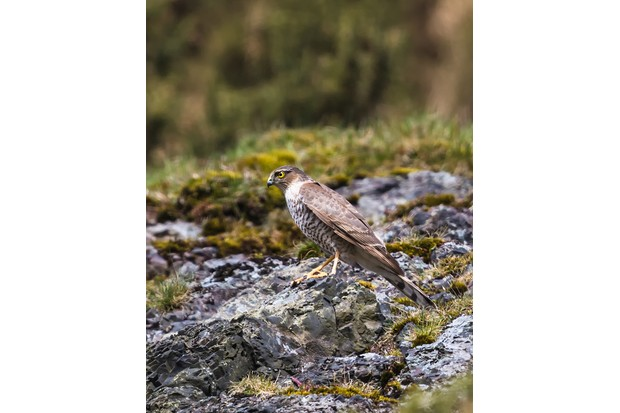 The sparrowhawk stayed for a couple of seconds and then flew off. © Andrew Fusek Peters