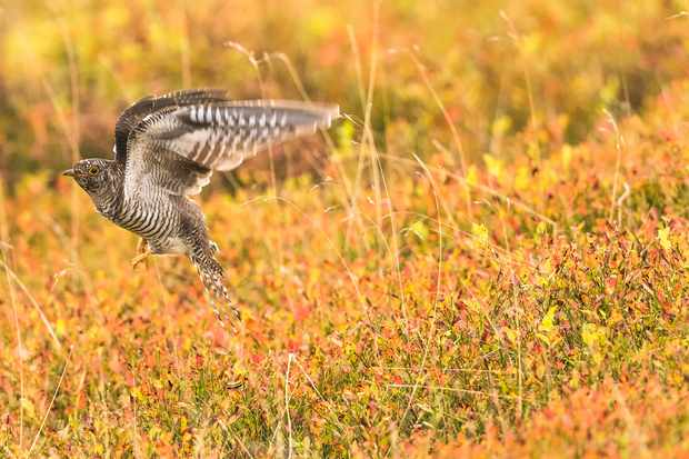 Juvenile cuckoo © Andrew Fusek Peters