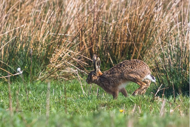 Hares are less common in the uplands and more likely to be spotted in the valleys. © Andrew Fusek Peters