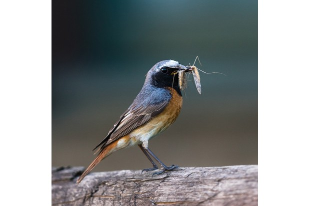 With his car as cover, Andrew was able to shoot ridiculously close to the redstart parents as they feed their young © Andrew Fusek Peters