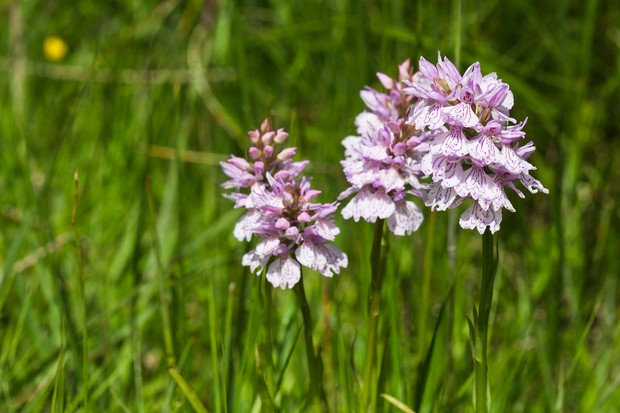 The heath spotted-orchid is quite a find on a farm that edges the lower slopes of the Lond Mynd © Andrew Fusek Peters