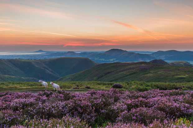 Long Mynd at dawn in August when the heather is in bloom © Andrew Fusek Peters