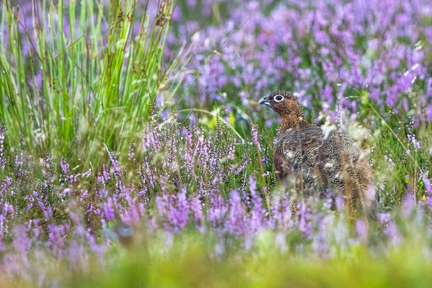 When the heather is out, the Mynd is transformed. The female grouse feeding at dunk is easier to spot now. © Andrew Fusek Peters