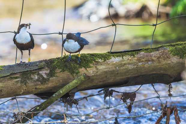 Once they have young to feed, both dipper parents are on full time duty. © Andrew Fusek Peters