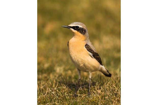 Patience brings the male wheatear almost up to Andrew's car window. © Andrew Fusek Peters