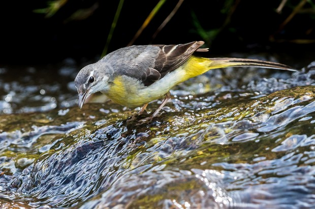 Grey wagtail in the stream at Carding Mill Valley © Andrew Fusek Peters