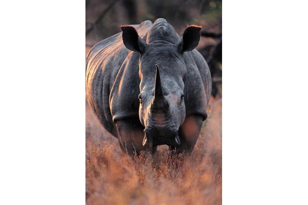 Southern white rhino, South Africa © Angela Scott, Kenya