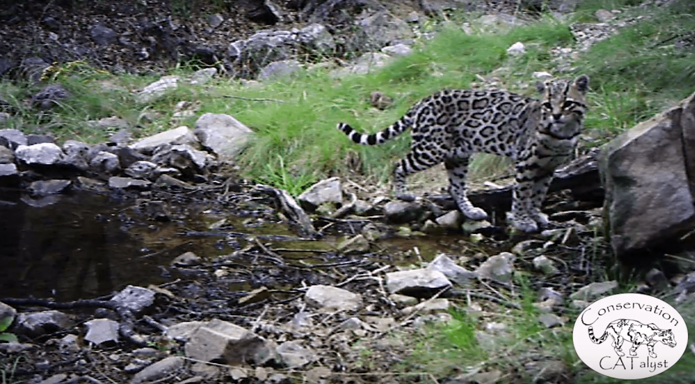 Arizona Ocelot1
