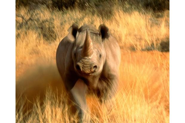 Black rhino, South Africa © Art Wolfe, USA