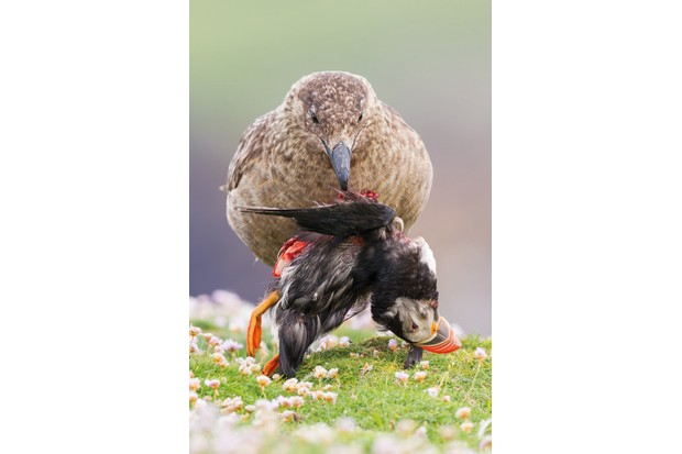 Animal Behaviour category winner: Life and death at the end of the world. Great skua and Atlantic puffin. © Sunil Gopalan/BWPA