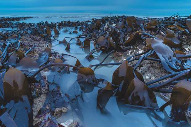 Botanical Britain category winner: Kelp bed at dawn. (Oarweed) © Robert Canis/BWPA