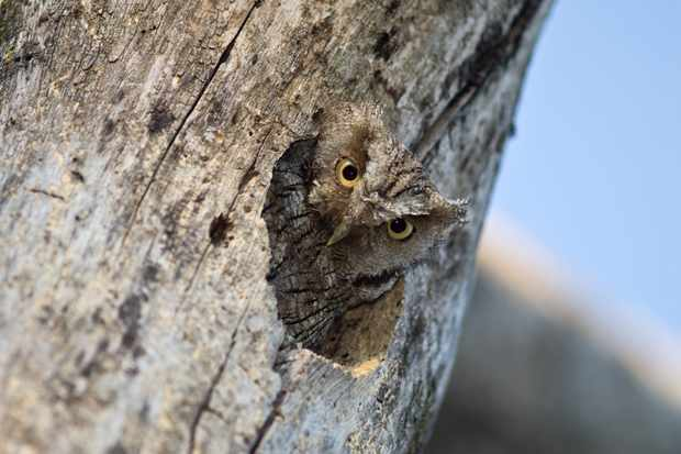 As I passed the base of the tree, this inquisitive tropical screech owl just poked his head out looking down at me: I pointed the lens straight up, grabbed a few shots and backed away. © David Plummer