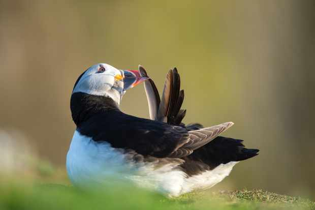 Sometimes I think people like to photograph the obvious with puffins such as in-flight shots, however, I think sticking with one bird and just trying to capture everyday behaviour can produce the most effective images. © David Plummer