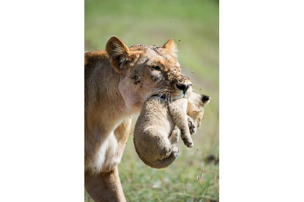 Having just missed the first, I waited two hours for this lioness to collect her second cub. The flies, tender care of the lioness, and helplessness of the cub all combine in this image. © David Plummer