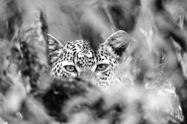 This Male leopard in the Maasai Mara would occasionally look up and stare at me through a small window of vegetation as he consumed a kill. This has become one of my favourite leopard shots. © David Plummer