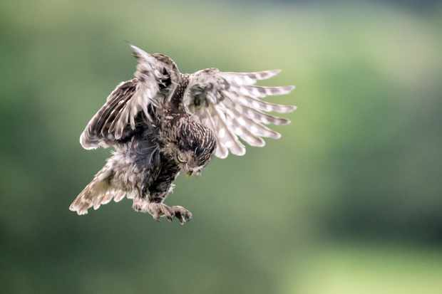 Little owl in-flight, Sussex, UK. I have documented this pair of little owls in Sussex for 3 years. © David Plummer