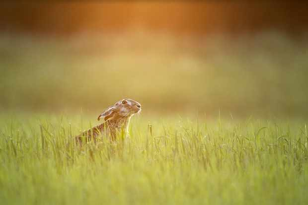 Hare at sunset. Taken from a hide in Hungary on the edge of the field, I thought the day was over photographically until I noticed this hare with the sun setting behind it. © David Plummer