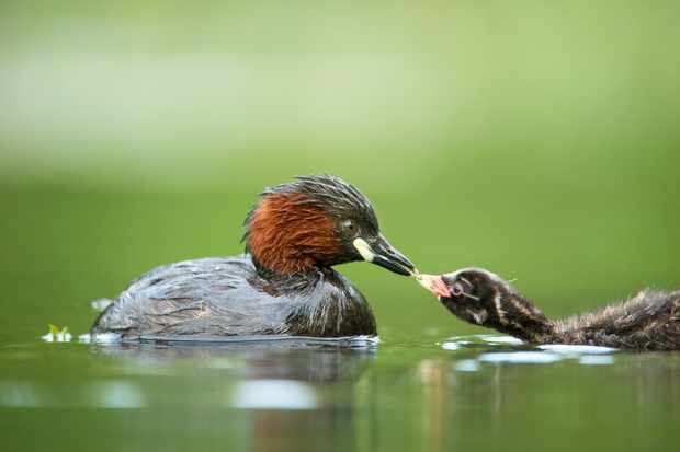 Little grebe passing food to young taken from a floating hide in a lake in West Sussex. © David Plummer