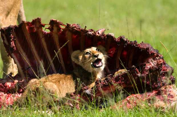 Young lion cub shades from the sun in the rib cage of a bull eland. © David Plummer