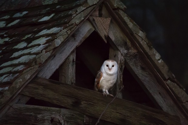 Barn owl emerges from daytime roost in West Sussex UK. © David Plummer