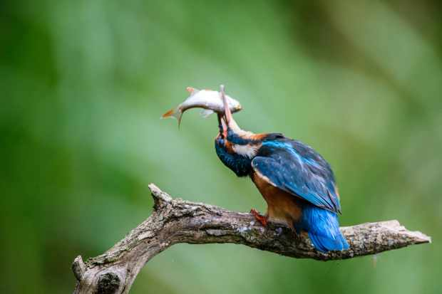 Kingfisher bashes fish in West Sussex UK. © David Plummer