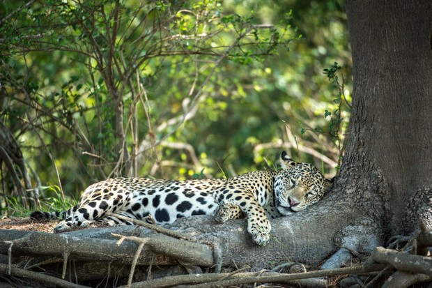 Sleeping female Jaguar. Pantanal region of Brazil. © David Plummer