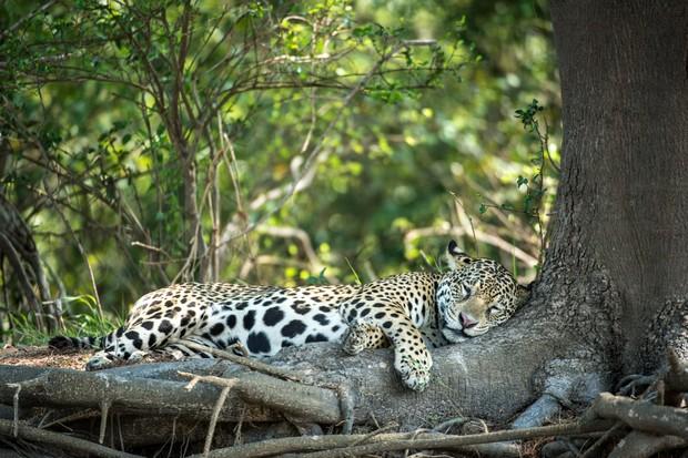 Sleeping female Jaguar. Pantanal region of Brazil. © David Plummer