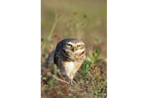 Burrowing owls are tolerant of humans to a point. I found the best way to approach them was to crawl along the ground pretending to be something else, a technique I use elsewhere too. © David Plummer