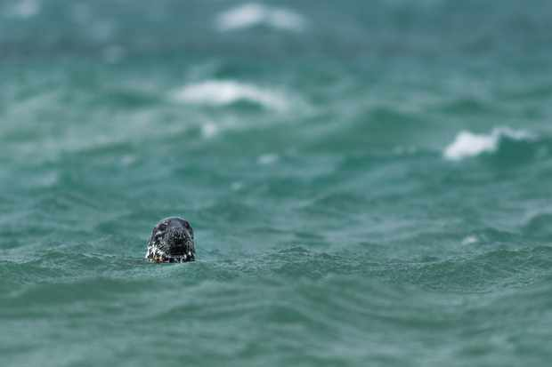 Documentary Series category winner: Rehabilitated grey seals being released into the wild. © Ben Watkins/BWPA