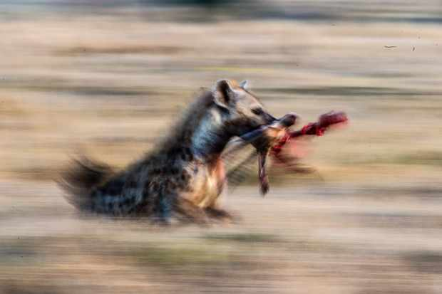 Hyena running with head of prey. Dragging the shutter can produce a nice slow pan. © David Plummer