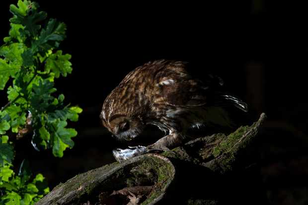 The tawny owl is common but very difficult to photograph in the wild due to its shyness and nocturnal behaviour. This is one of my favourite images – I like chasing the elusive. © David Plummer