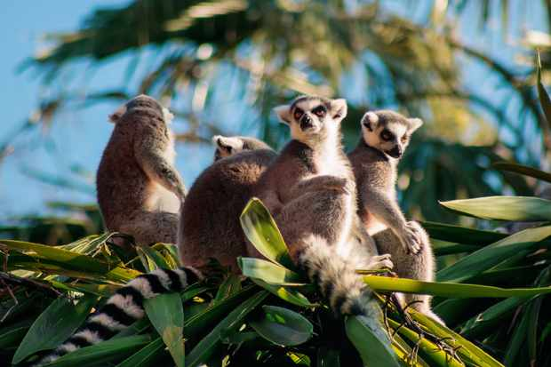 Ring-tailed lemurs. © Getty