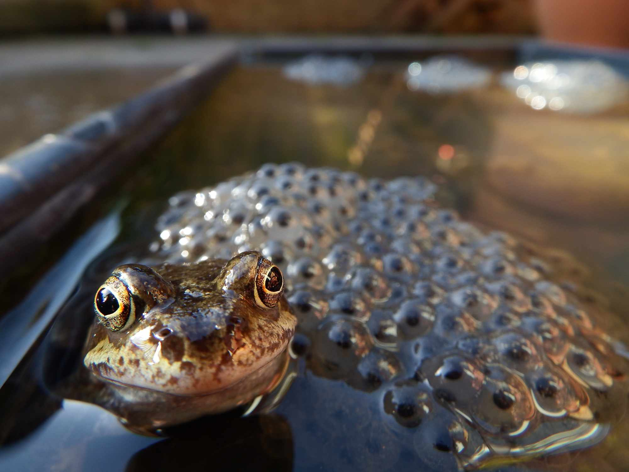 Frog with frogspawn. © Richard Warner/EyeEm/Getty