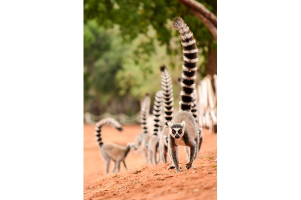 Family of ring-tailed lemurs in Berenty reserve, Madagascar. © Getty