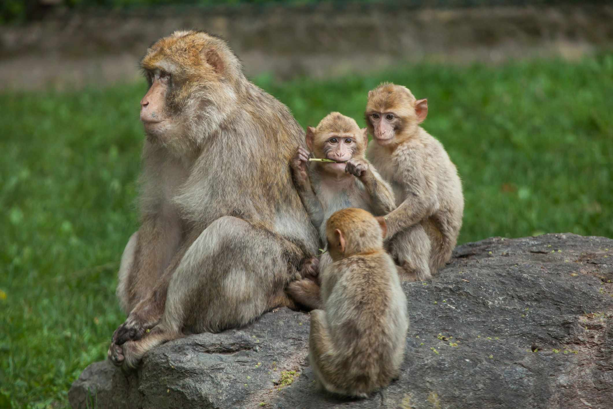 Barbary macaques. © Getty