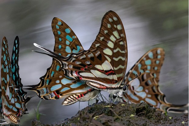 Two species of swallowtail butterflies share access to nutritious, mineral-rich mud on the shore of one of Gorongosa's seasonal pans. © Piotr Naskrecki and Jen Guyton