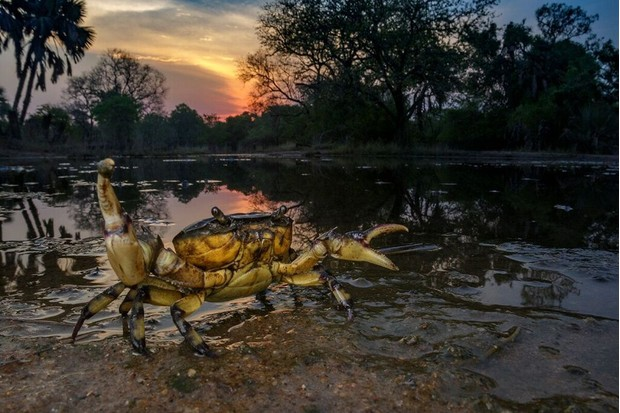 Shortly after the first rains of the wet season, hundreds of small ponds dot the landscape, creating an ideal habitat for freshwater crabs and other animals that spent the rest of the year buried underground. © Piotr Naskrecki and Jen Guyton