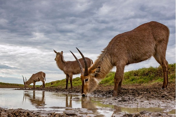 Waterbuck is Gorongosa's most common antelope species. As the dry season approaches and water becomes scarce waterbucks concentrate around the few remaining watering holes. © Piotr Naskrecki and Jen Guyton