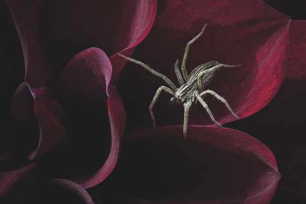 Hidden Britain category winner: Waiting for her prey. (Nursery web spider) © Andrew McCarthy/BWPA