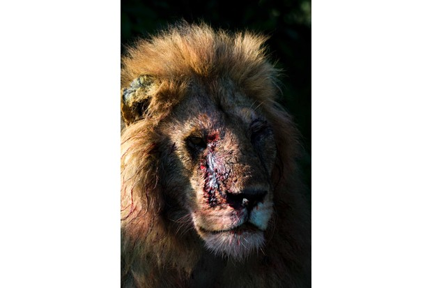 Victorious male lion after a fight. I think this image sums up the brutality of nature but also the persistence of the protagonists within it; animals don't give up, they just keep going. © David Plummer